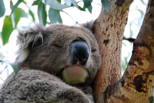 Koala en un eucalipto de Kennett River