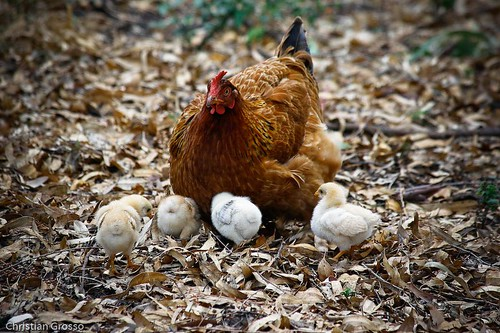 "Gallinas y Pollitos • <a style=""font-size:0.8em;"" href=""http://www.flickr.com/photos/20681585@N05/3028925066/"" target=""_blank"">View on Flickr</a>"