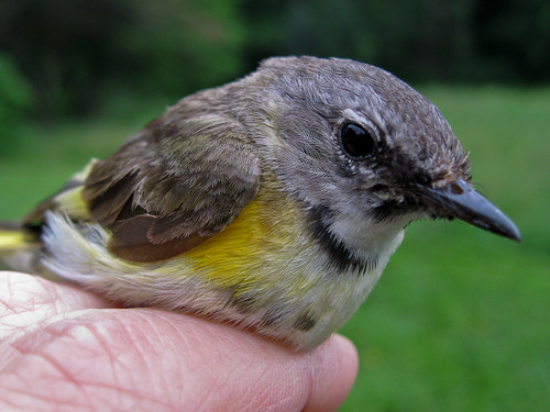 American Redstart First Year Male