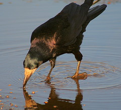 Rook eating from water