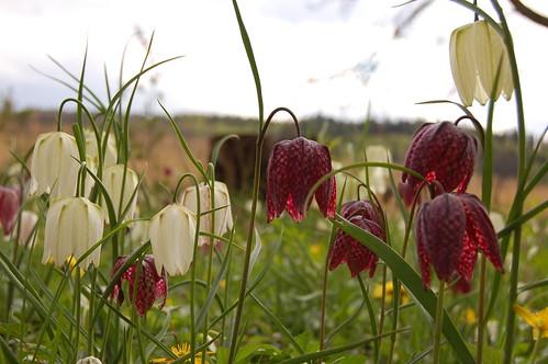 Fritillary (Kungsängslilja) by DrPuff.