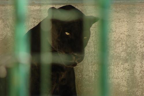 Jaguard noir