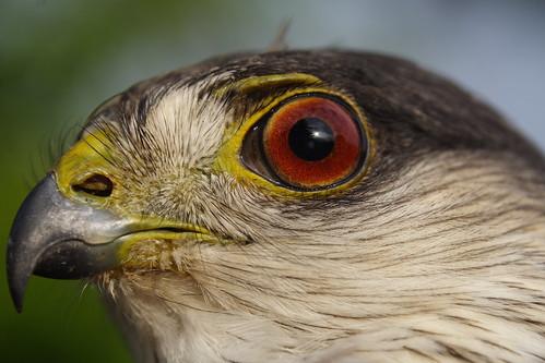 Sharp-shinned Hawk - Closeup