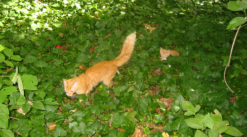 20080914 - cats visit our creek - 168-6819 - Oranjello, Lemonjello - walking up the hill - please click through to leave a comment on FlickR