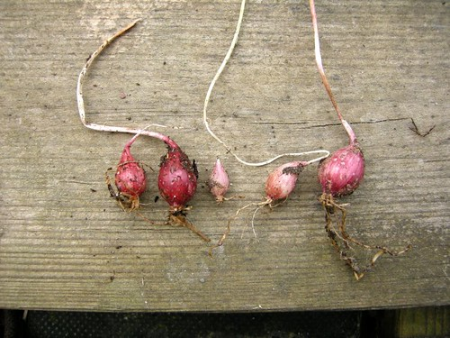 garlic1373