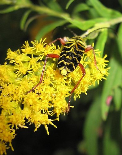 Insect on Goldenrod - Sept 16 2008