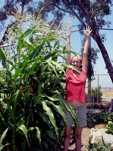 Silver Queen Corn at nearly 10 ft tall