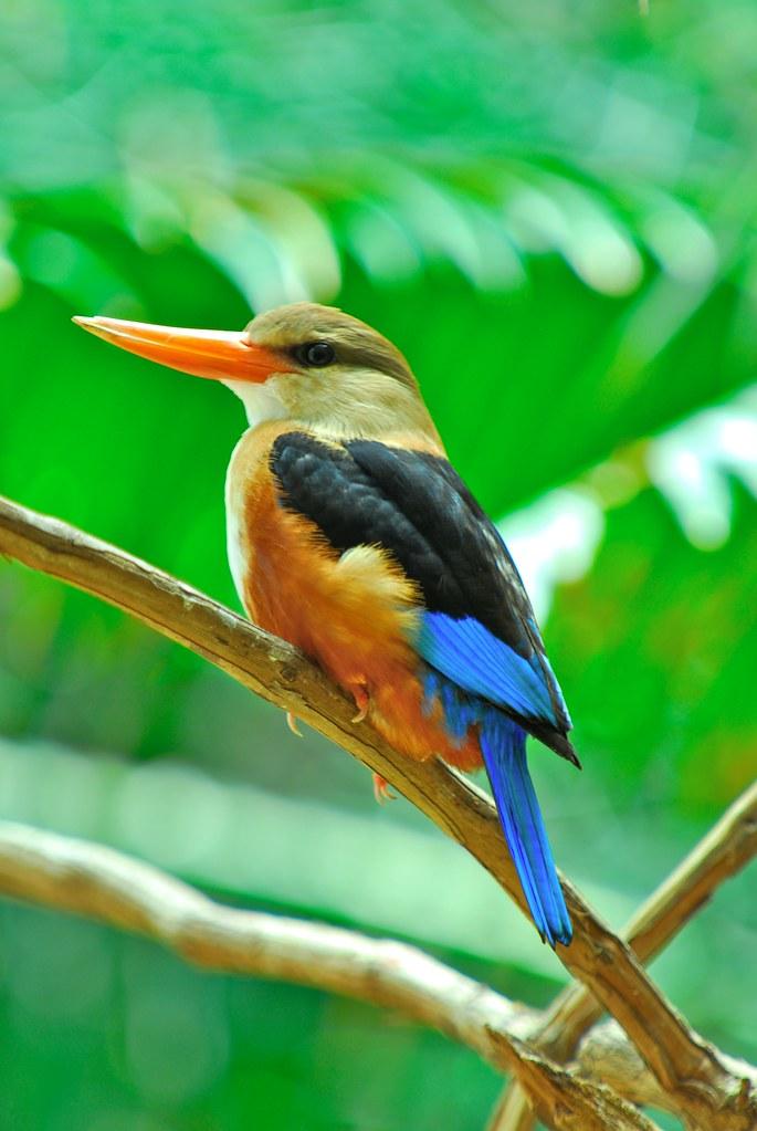 GrayHeadedKingfisher.jpg