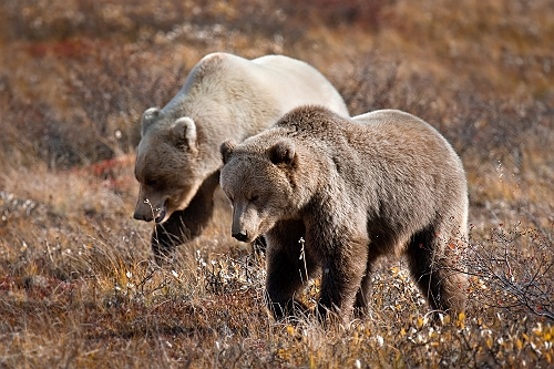 Brown Bears Denali Alaska