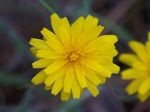 Large flowered false dandelion