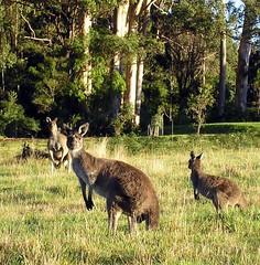 Breakfasting kangas