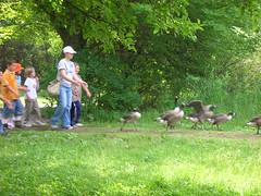 Applaudinig the Geese