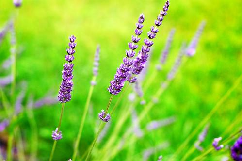 Sunshine Lavender Farm, Sequim
