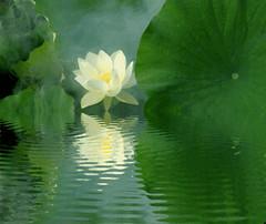 Lotus Flower Reflections / green / IMGP6812-refl - زهرة اللوتس, ハスの花, 莲花, گل لوتوس, Fleur de Lotus, Lotosblume, कुंद, 연꽃