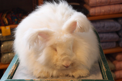 German Angora Rabbit