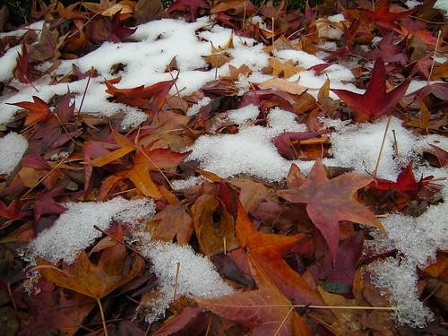 Ahornblätter mit Schnee