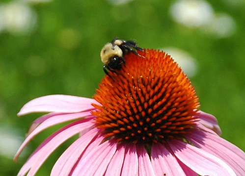 photo of a flower in the lewis ginter botanical garden with a bee on it