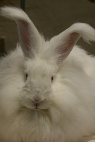 angora bunny CUTENESS