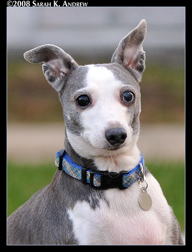 Bowie, the Italian Greyhound with one blue eye