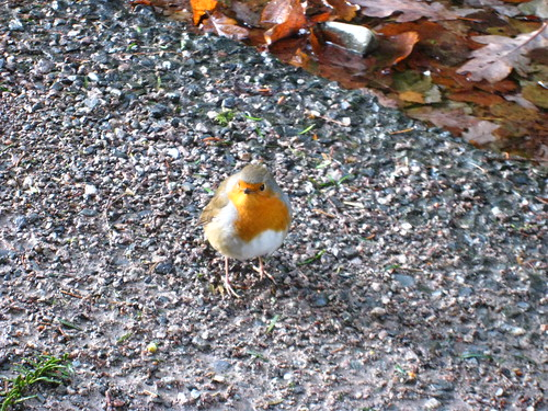 A very friendly robin