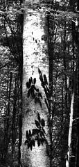 tronco ombra rid