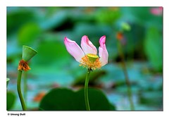 Lotus - Delicate
