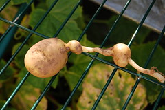 080713-potatoes012