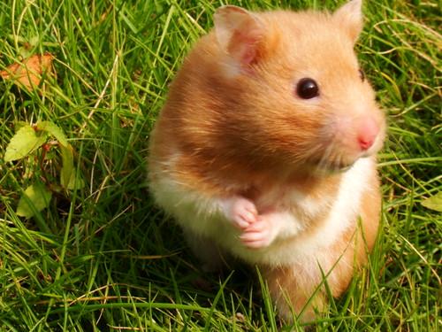 哪隻寵物鼠比較好養 - Yahoo!奇摩知識+