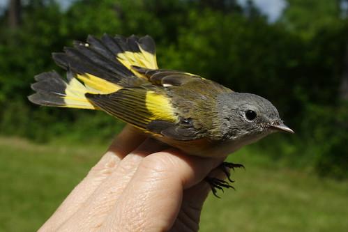 American Redstart Male 2b