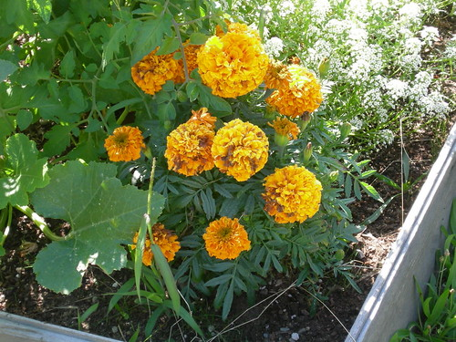 Glowing marigold