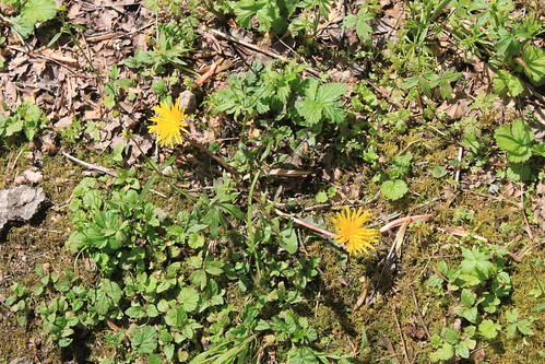 Cougar Mountain - Indian Trail - Dandelions
