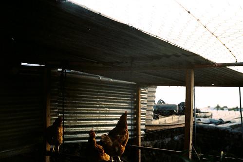 [SMENA SYMBOL] Una vida de gallos