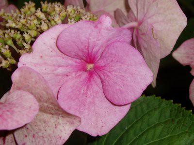 closeup of a hydrangea flower. Taken in Mum and Dads garden by me.