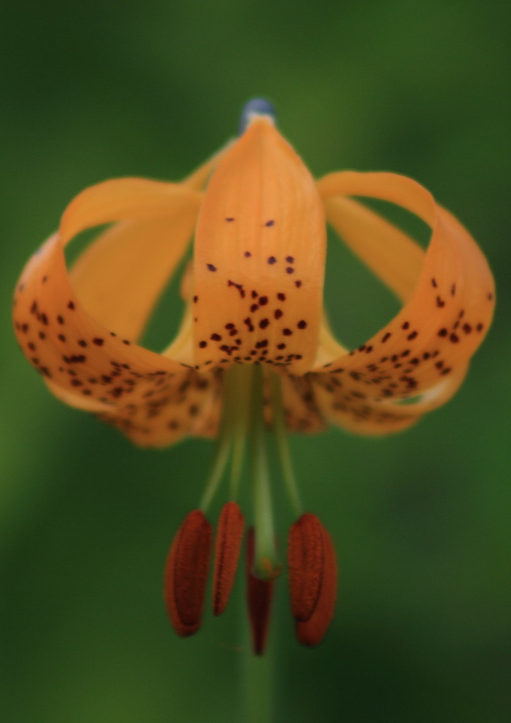Columbian lily