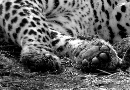 Leopard paws by alistair.pott