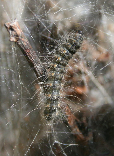 Fall Webworm, Hyphantria cunea