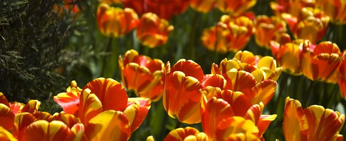Tulips in Widescreen