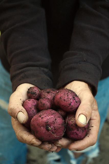 Tom holding potatoes