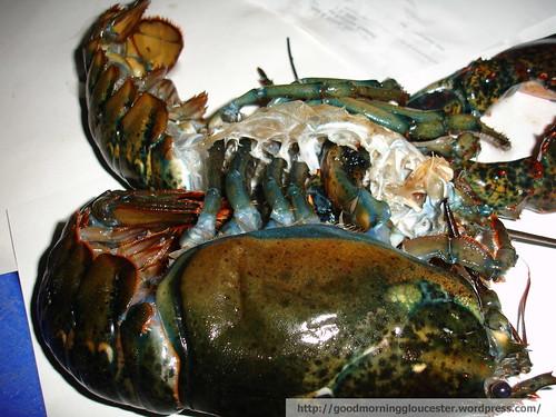 Molting Lobster at Captain Joe's