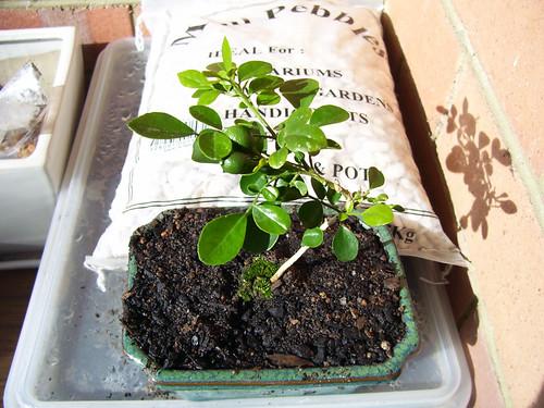 bonsai2weeks