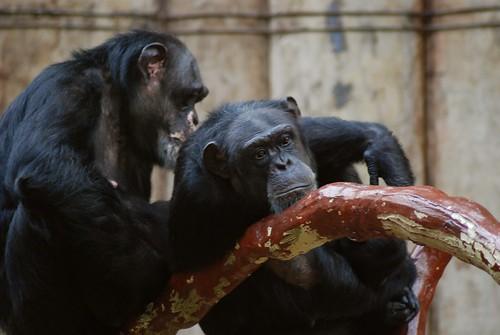 Schimpansen im Zoo Krefeld