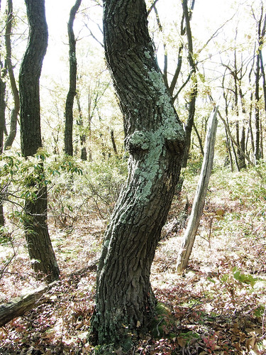 goddess tree 1