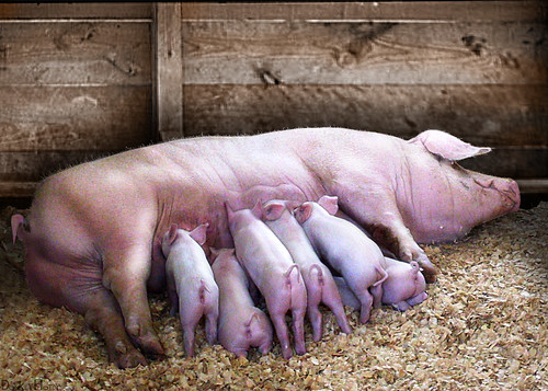 Image of a swine feeding its young
