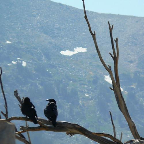 Ravens at 10,000 ft