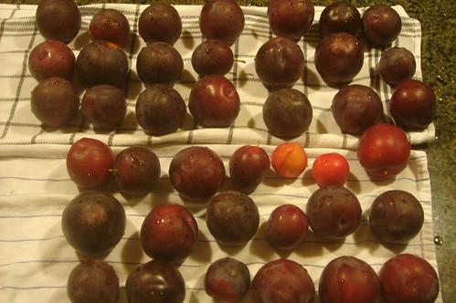 plum 6