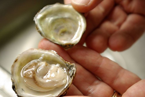 Olympia oyster