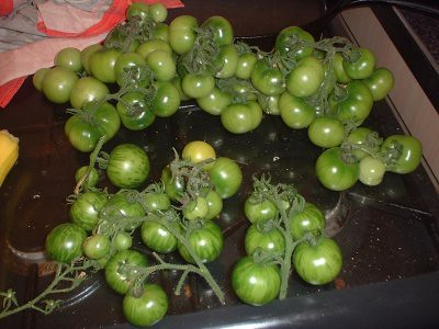 mix of tomatoes - some tigerella (at the front), to the rear are other tomatoes, dont know which kind, but theyre not cherry ones
