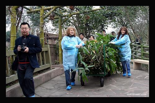 Panda Base, Chengdu China 2/08 ..panda adoption