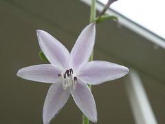 Delicate Hosta Blossom