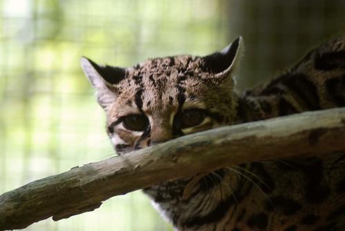 Langschwanzkatze in der Réserve Zoologique de Calviac